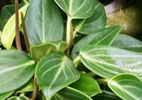Peperomia maculosa (L.) Hook