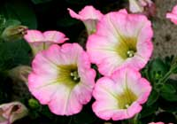 Petunia Juss. Sweetunia® ′Soft Pink Morning′