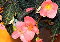 Begonia-Hybride 'First Kiss'