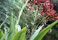 Doryanthes palmeri W. Hill ex Benth.