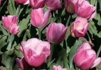 Tulipa ′Early Glory′