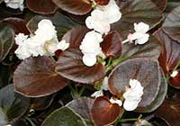 Begonia semperflorens-cultorum hort. Gum Drop 'Coco White'