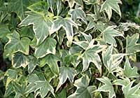 Hedera helix L. ′Yellow Ripple′