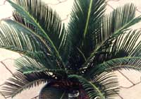 Cycas revoluta Thunb.