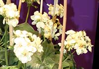 Pelargonium ×hortorum L. H. Bailey ′First Yellow′