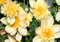 Dahlia ′Hy-Scotch′