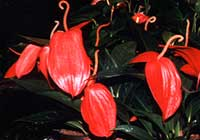 Anthurium scherzerianum Schott 'Red Beauty'