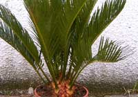 Cycas revoluta Thunb. - Jungpflanze