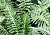 Blechnum occidentale L.
