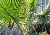 Washingtonia filifera (Linden ex André) H. Wendl.