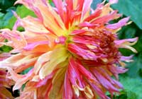 Dahlia ′Myrtles Folly′