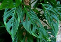 Monstera adansonii var. laniata (Schott) Madison