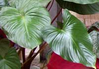 Philodendron rugosum Bogner & G. S. Bunting