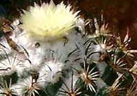 Coryphantha pallida Britton & Rose