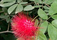 Calliandra tweediei Benth.
