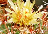 Ferocactus spec. Britton & Rose