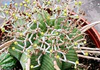 Euphorbia horrida Boiss.