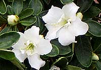 Azalee - Rhododendron L.