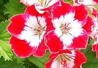Pelargonium ×domesticum L.H. Bailey