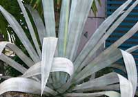Agave tequilana F. A. C. Weber