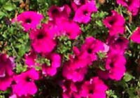 Petunia Surfinia™ 'Shihi Purple'