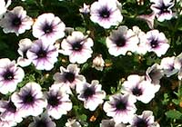 Petunia Cultivars Experimental 'Light Blue Vein'