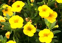 Calibrachoa Callie™ 'Deep Yellow'