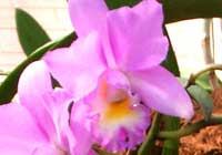 Cattleya 'Angel Love'