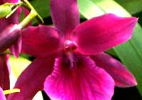 Miltonia 'Honolulu'