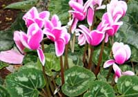 Cyclamen als Beetpflanze