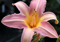 Hemerocallis 'Spinne in Lachs'