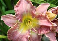 Hemerocallis 'Donna's Prayer'