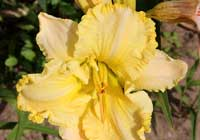 Hemerocallis 'Ruffled Dude'