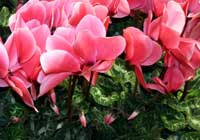 Cyclamen HALIOS® 'Saumon'