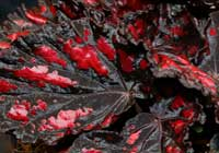 Begonia-rex-Hybride ′Magic Colours′