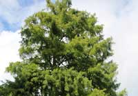 Taxodium distichum (L.) Rich.