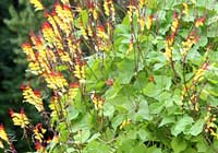 Ipomoea lobata (Cerv.) Thell.