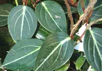 Peperomia maculosa (L.) Hook.