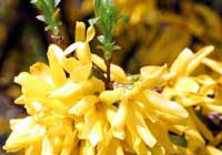 Forsythia ×intermedia Zabel