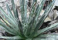 Agave parviflora Torr.
