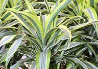 Dracaena fragrans (L.) Ker Gawl. 'Lemon Lime'