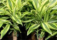 Dracaena fragrans (L.) Ker Gawl. 'Yellow Coast'