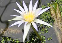 Nymphaea elegans Hook.