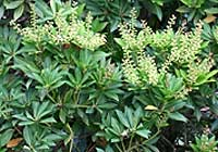 Pieris floribunda (Pursh) Benth. & Hook. f.