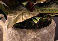 Philodendron ornatum Schott 'Red'