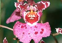 Oncidium spec.