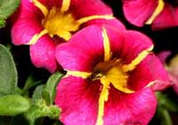 Calibrachoa Superbells 'Cherry Star'