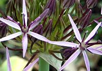 Allium cristophii Trautv.