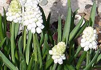 Muscari botryoides (L.) Mill. 'Album'