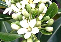 Pittosporum tobira (Thunb.) W. T. Aiton